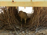 Bower Bird building a nest under a seat