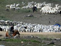 Flocks of sheep and herds of cattle being moved to winter pastures