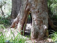 Nanarup, Tingle Tree showing buttressed trunk