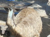 Emus roamed the campsite