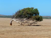 Horizontal tree at Greenough