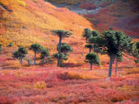 Autumn colours and MonkeyPuzzle trees, Carviahue, Argentina
